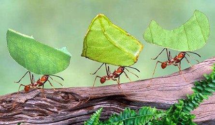 formigas-cortadeiras-entre-os-animais-mais-fortes-do-mundo