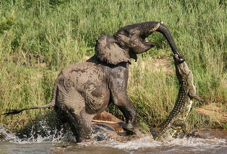 Turista americana flagrou crocodilo mordendo tromba de elefante (Foto: Reprodução/Facebook/Lion Sands Game Reserve)